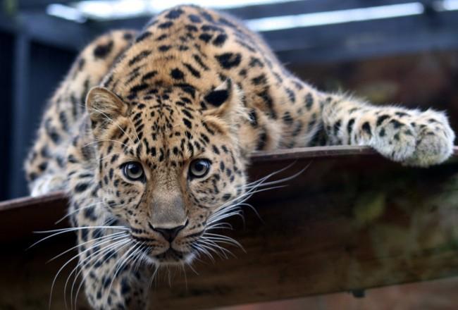 The Amur Leopard