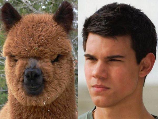 Taylor Lautner vs Llama