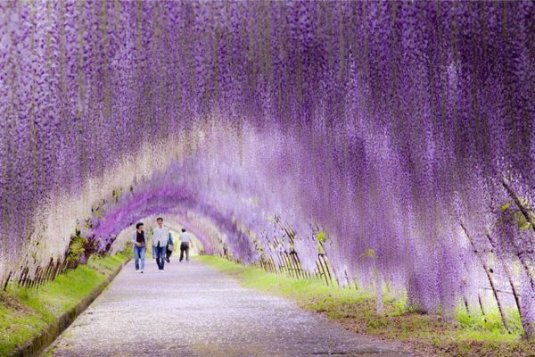 It's raining violet flowers - Japan