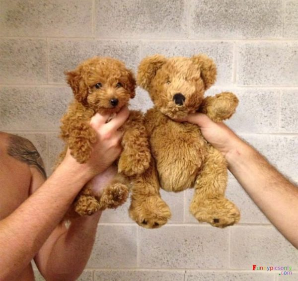 Little dog or teddy bear?