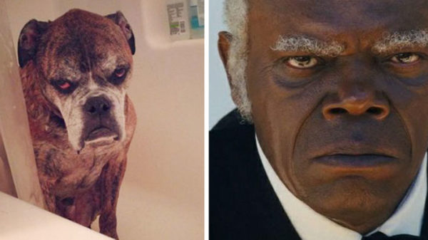 Samuel L. Jackson vs Boxer old dog.