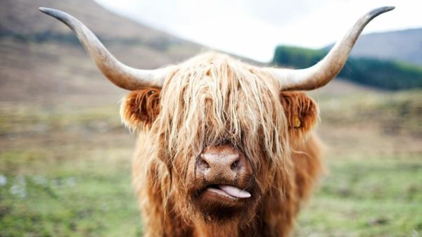 18. Highland cow's bad hair.