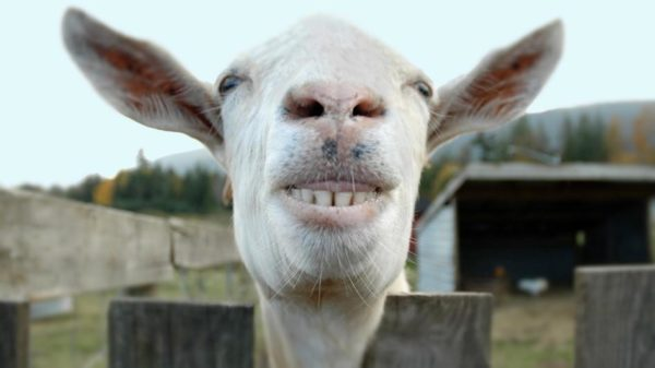 1. This goat's got a seriously goofy grin!