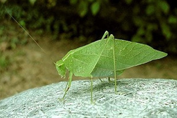 Shrub cricket or Tettigoniidae