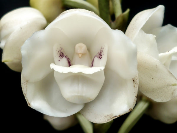 Holy ghost orchid