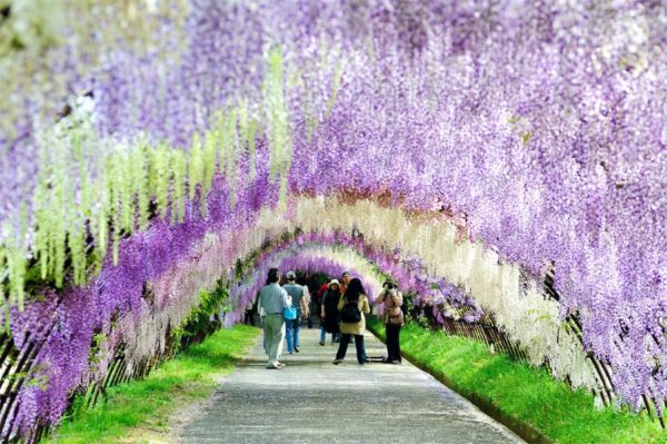 The Wisteria tunnel in Japan