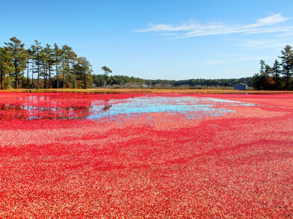 Cranberry bogs of the South Shore, Massachusetts