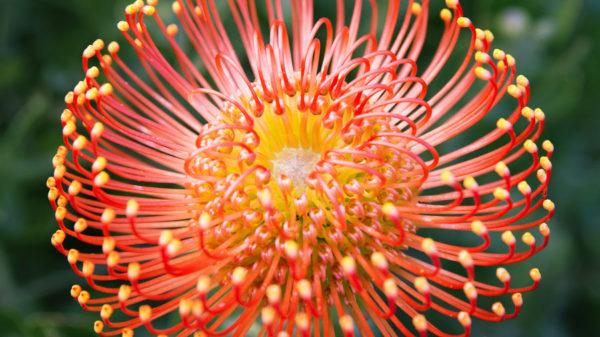 Protea Pinwheel