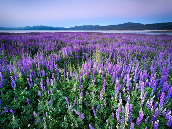 Lupines by Lake Tahoe, California