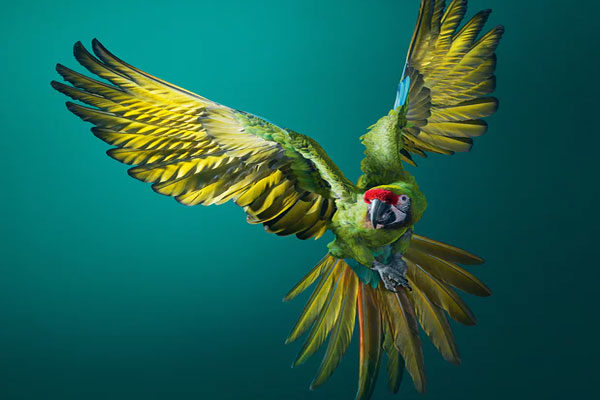 The military macaw