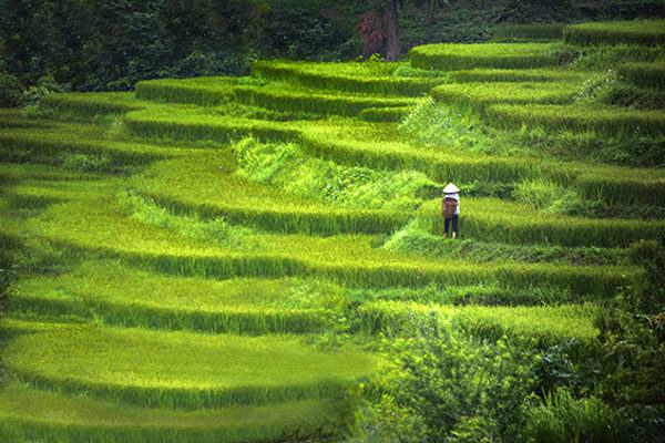 Rice Terrace, Indonesia