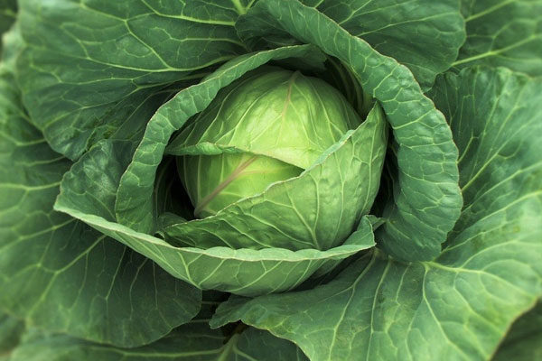 Modified cabbage