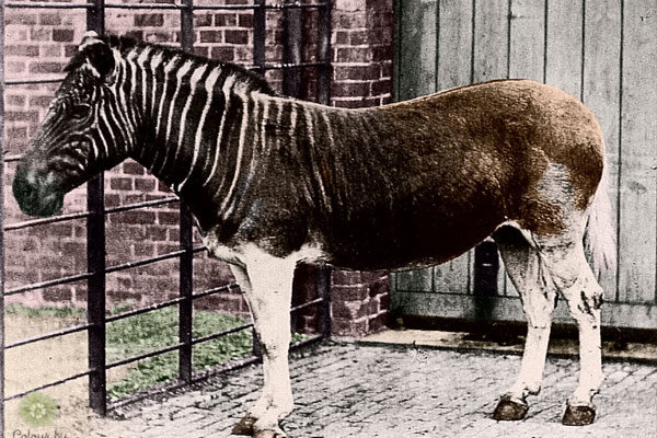 The quagga