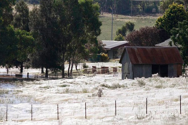 Giant spider web, Australia
