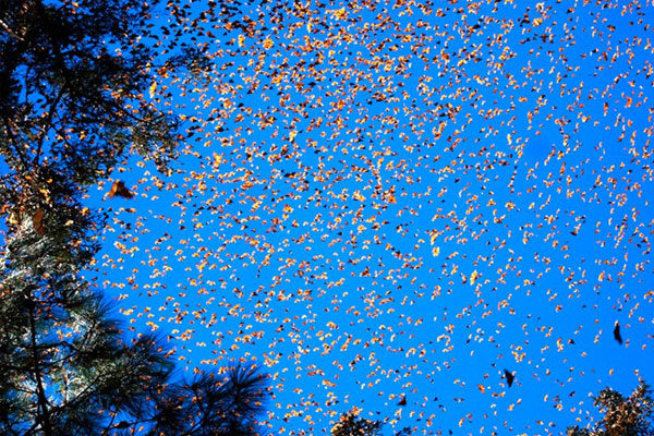 Monarch butterfly migration, U.S. and Mexico