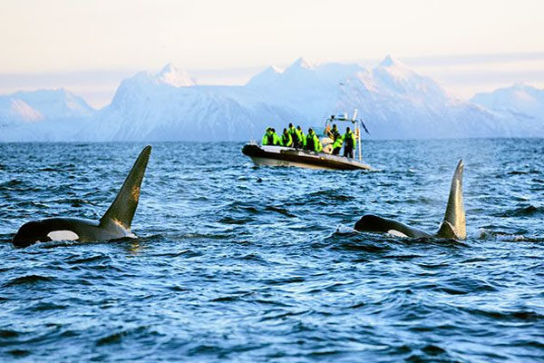 Watching whales - Norway & Iceland